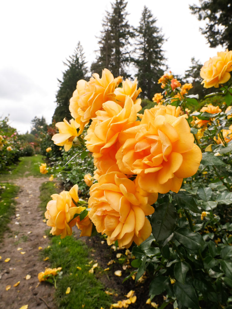 yellow roses at the Portland Rose garden