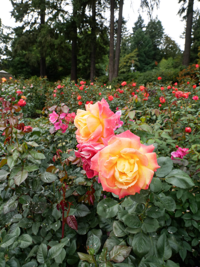 Pink and yellow roses at the Portland Rose Garden
