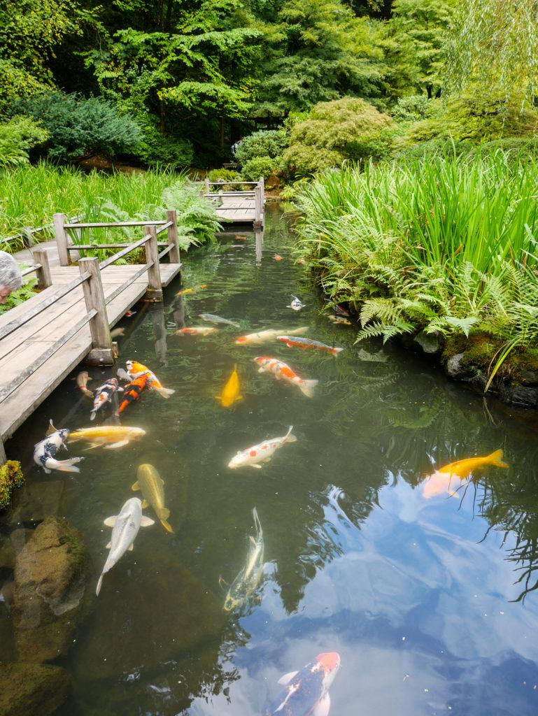 fish pond at Portland Japanese Garden