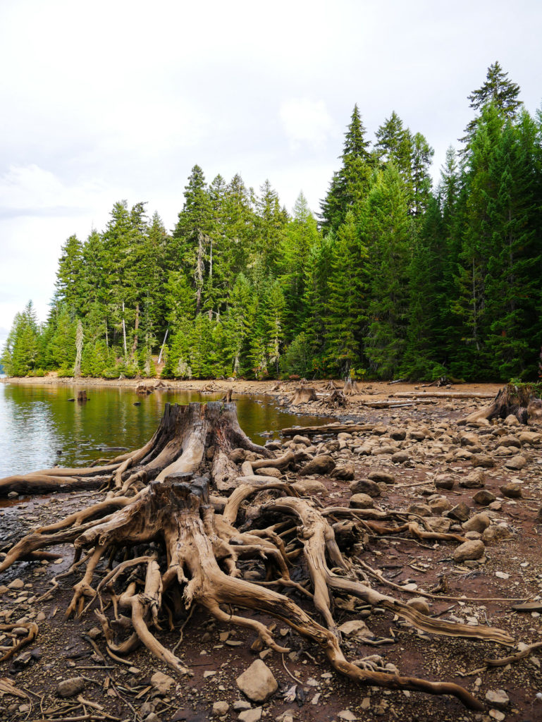 Tree stump at Timothy Lake Portland Oregon